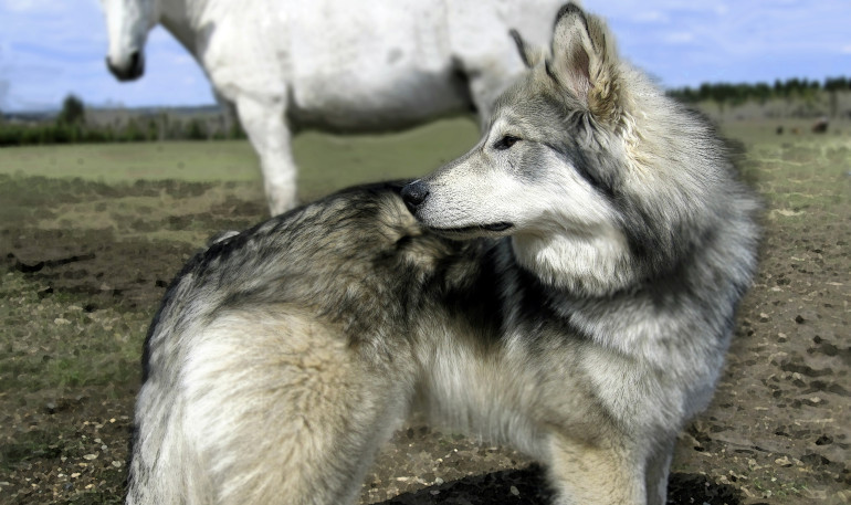 horse_and_wolf_copy